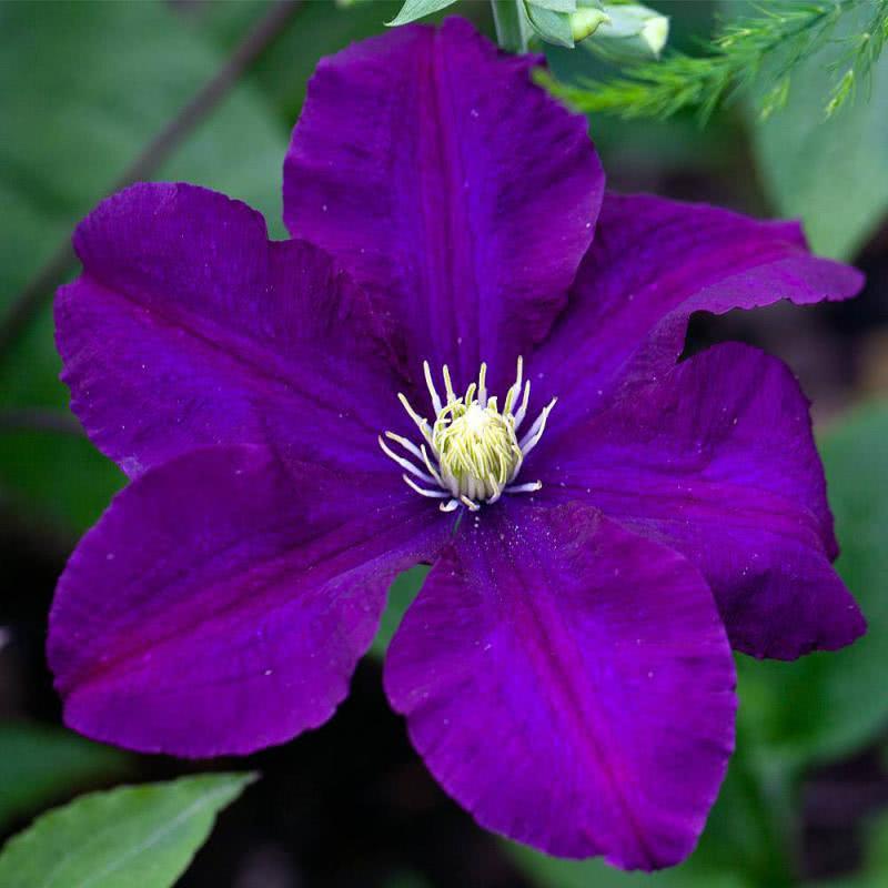 Цветы клематисы купить в минске, февраля день влюбленных